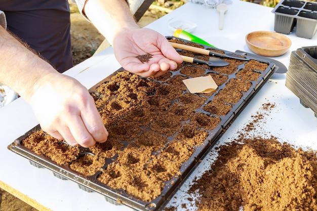 Hand zaaien van zaadplanten op dienblad. zaailingen kweken, verplanten, groenten planten. landbouw concept.