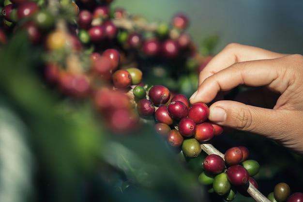 Handen die koffiebonen uit de koffieboom plukken