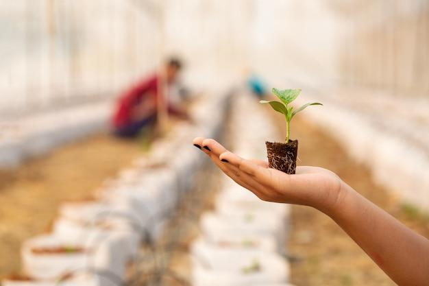 Handen die mooie meloenzaailing met grond en wortels houden.
