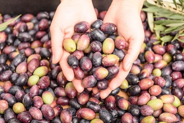 Handen die olijven, stapel olijvenachtergrond houden. oogstseizoen.
