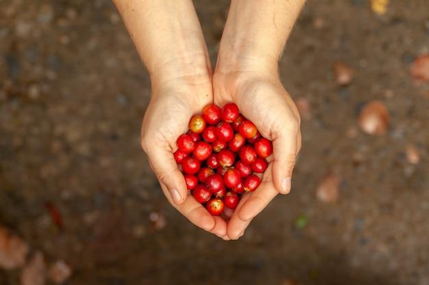 Handen die onlangs geplukte rijpe koffiebonen houden - coffeea arabica