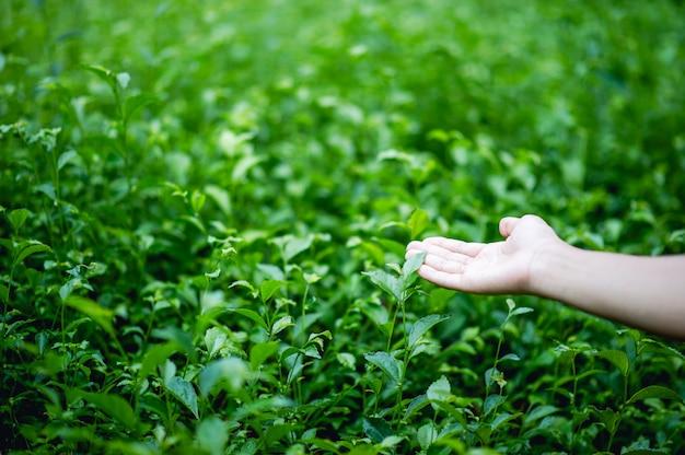 Handen en groene theeblaadjes die van nature mooi groen zijn