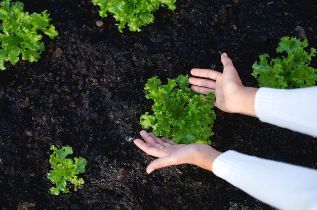 Handen en sla van tuiniers het concept van de teelt van biologische groenten