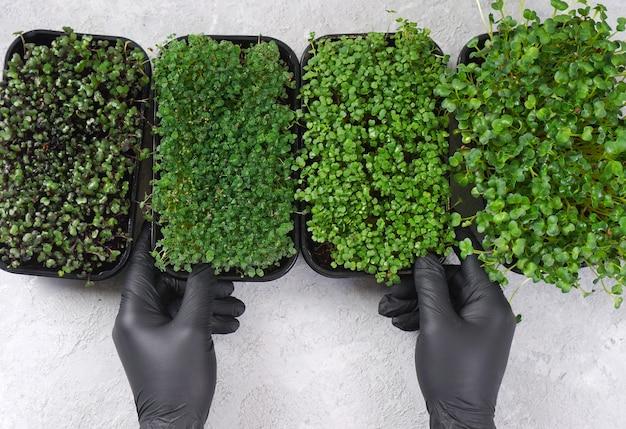 Handen in zwarte handschoenen houden microgroene spruiten vast. microgreens: chia, paarse kool, rucola en daikon.