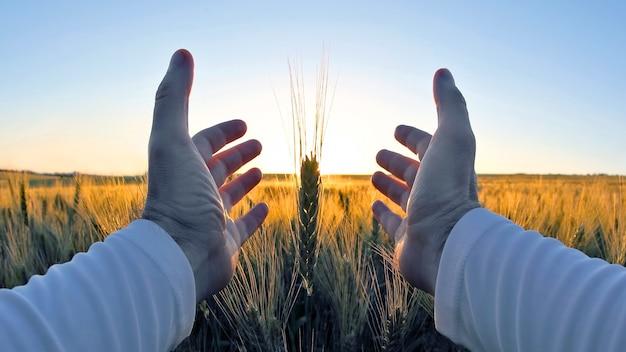 Handen met tarweaartjes tegen de ondergaande zon. de relatie van de mens tot de natuur en de oogst