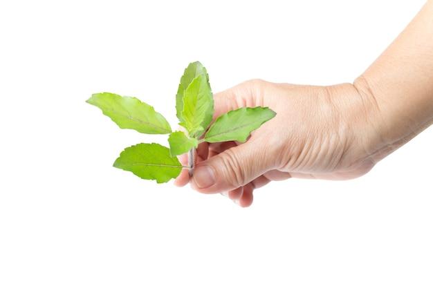 Handen met verse groene basilicum kruid bladeren geïsoleerd op wit