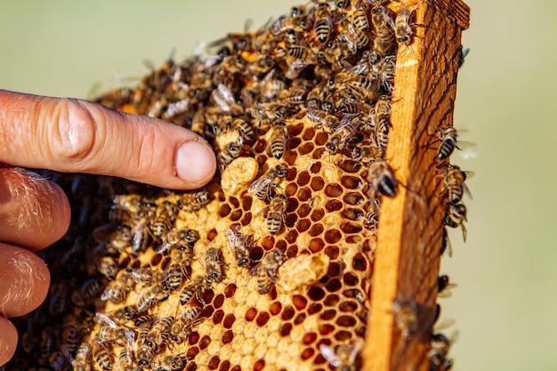 Handen van de mens toont een houten frame met honingraten