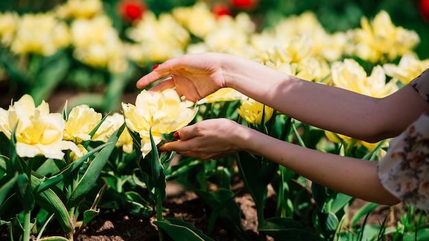 Handen van de vrouw met gele bloemen, rode nagels