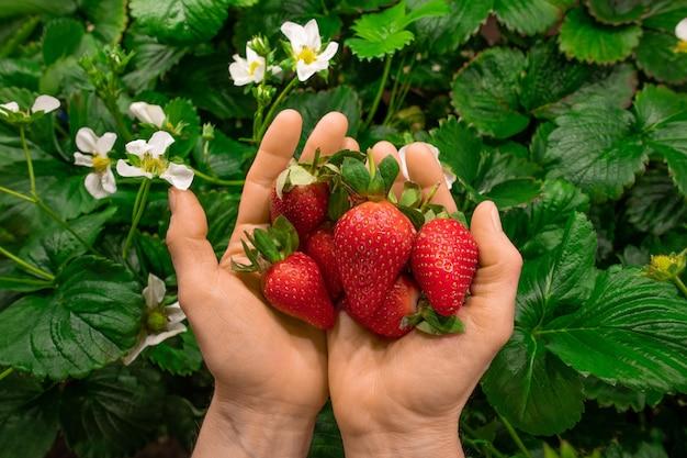 Handen van een jonge werknemer van een verticale boerderij of kas met een hoop rode rijpe aardbeien tegen groene bladeren en witte bloesem