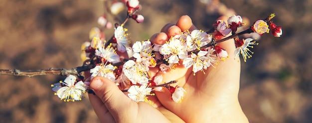 Handen van een kind met een bloeiende boomtak. selectieve aandacht. natuur.
