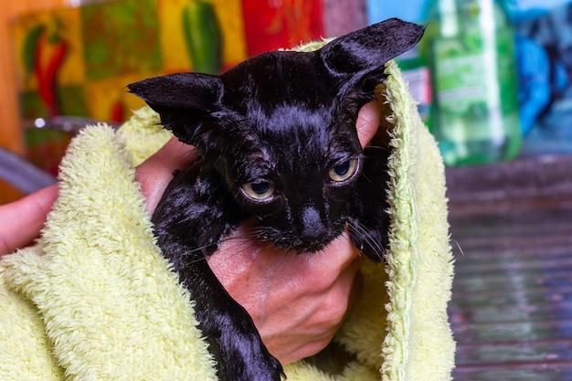 Handen van een vrouw die een nat klein zwart bang katje afveegt met een handdoek na het baden
