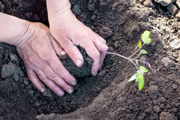 Handen van een vrouw en zaailingen van tomaten tijdens het planten