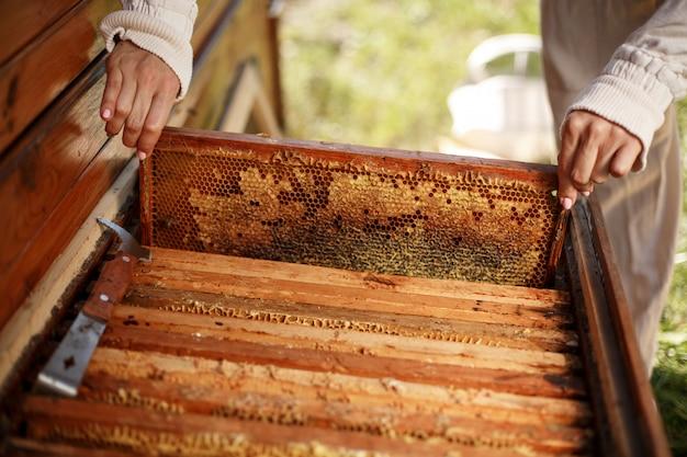 Handen van imker trekt uit de bijenkorf een houten frame met honingraat. verzamel honing. bijenteelt.