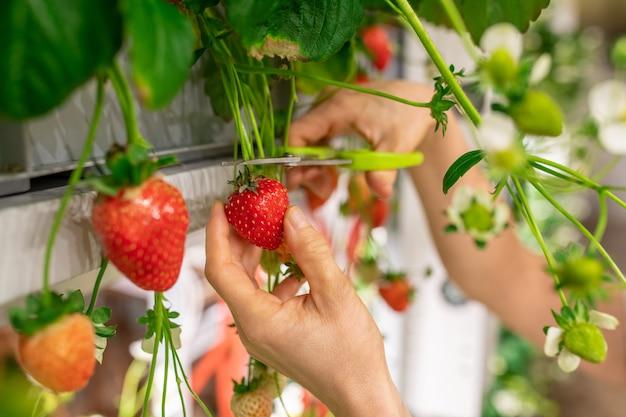 Handen van jonge werknemer van verticale boerderij of kas die rode rijpe aardbeien snijdt met een schaar tussen groene bladeren en witte bloesem