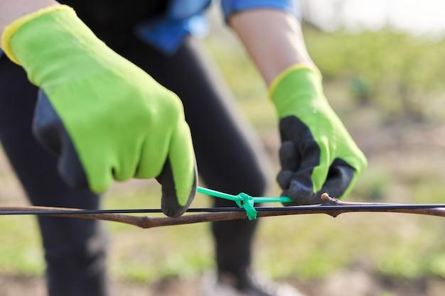 Handen van tuinman die wijnstok met tape aan de steun bindt, close-up, eerste lentewerk in wijngaard