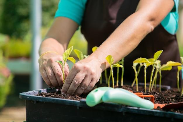 Handen van vrouwelijke tuinman aanplant spruiten in container met bodem. close-up, bijgesneden schot, vooraanzicht. tuinieren baan, plantkunde, teeltconcept.