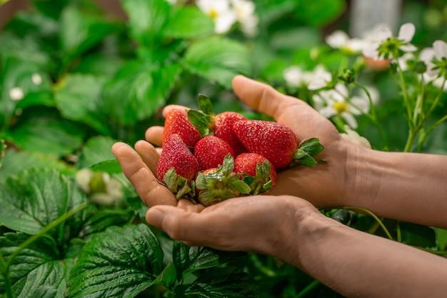 Handen van werknemer van hedendaagse verticale boerderij of kas met hoop rode rijpe aardbeien over groene bladeren en witte bloesem