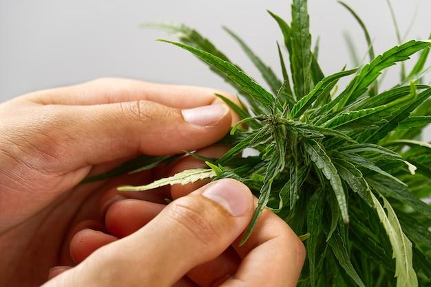 Handen van wetenschapper in een hennepgebied die cannabisplanten controleren