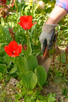 Handenvrouw die in haar tuin tuinieren.