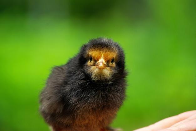 Handgreep verzorgen van een kleine kip
