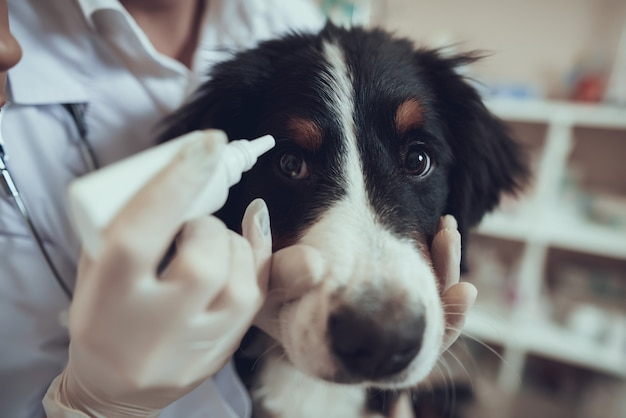 Hands of vet in gloves apply eye drops for dog