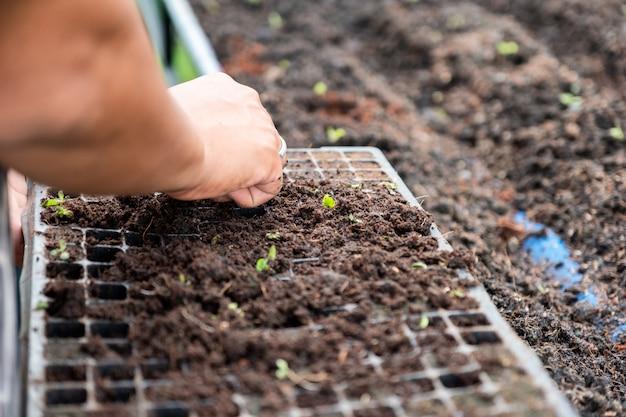 Handtuinman landbouw zaailing van groene eiken sla op dienblad in de bodem