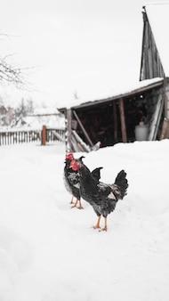 Hanen op een winterse achtergrond. verticale foto op het platteland. boerderij- en veeconcept
