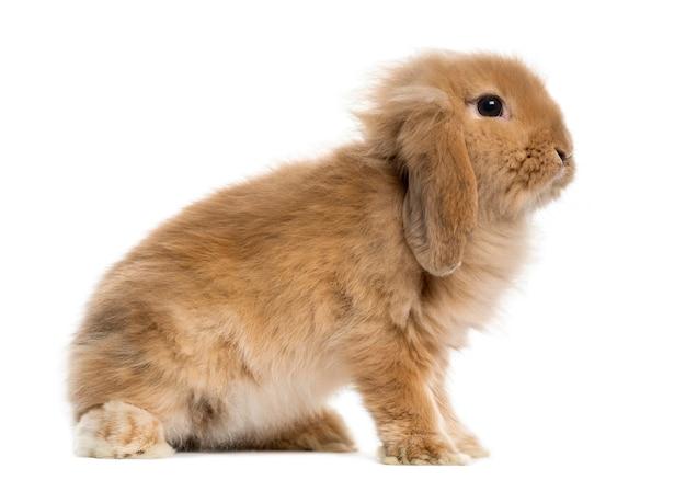 Hang konijn voor een wit oppervlak