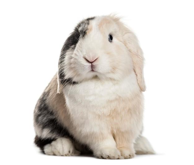 Hangoor konijn zittend tegen wit oppervlak