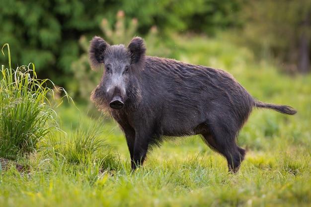 Harig everzwijn sus scrofa die alleen door het bosgrasland dwaalt