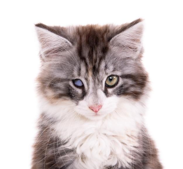Harig grijs huiskatje met één beschadigd oog en lang haar en snorharen kijkend naar de voorkant