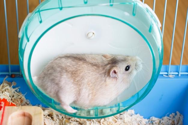 Harige hamster ligt in plastic wiel