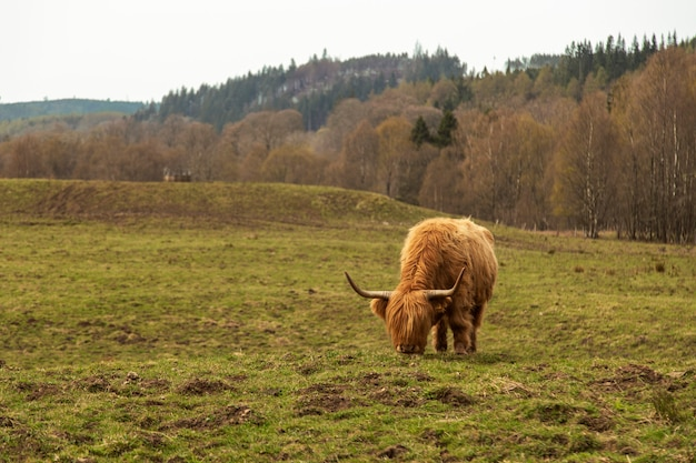Harige koe