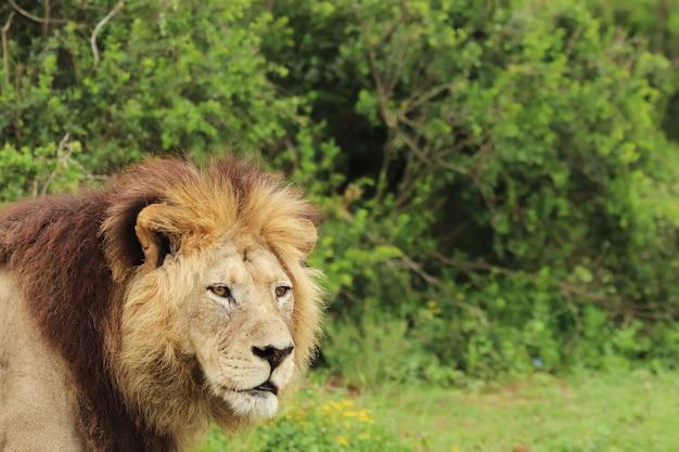 Harige leeuw die overdag in het addo elephant national park loopt