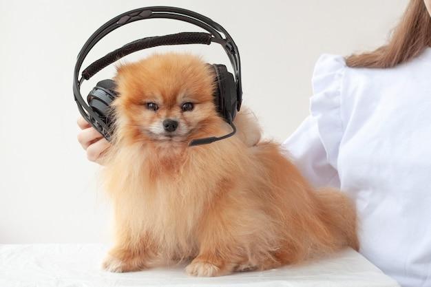 Harige pommeren luistermuziek