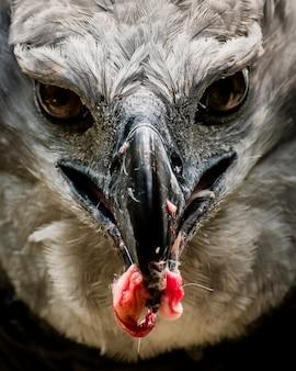 Harpy eagle hunting