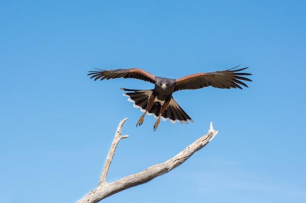 Harris hawk komt binnen voor een landing geïsoleerd op blauwe hemel