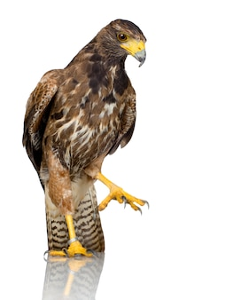 Harris's hawk op wit