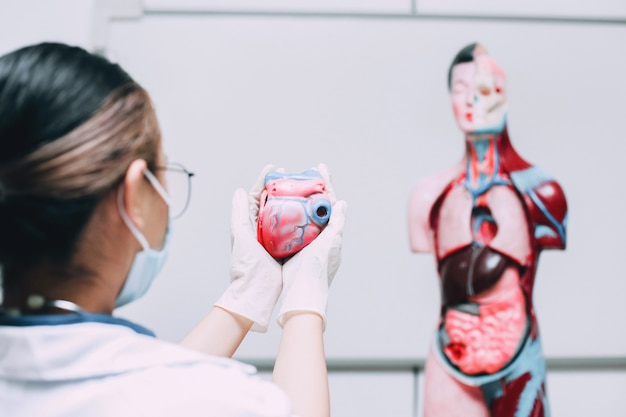 Hartmodel in de hand van een arts met het menselijke model van interne lichaamsorganen