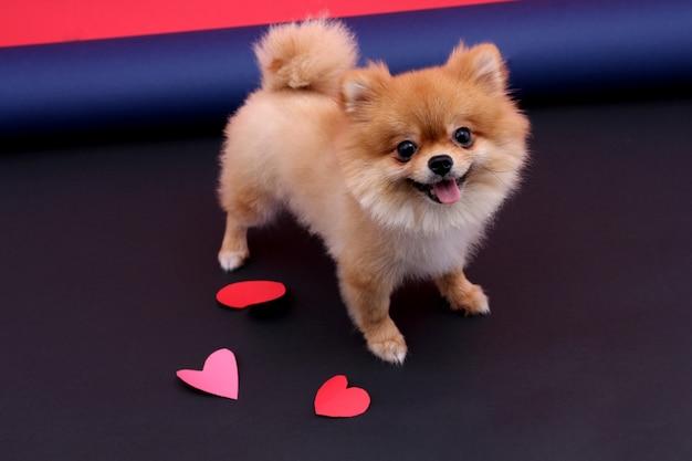 Hartvorm in valentin day en little dog.