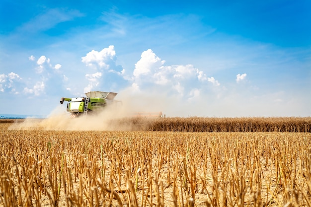 Harvester oogst rijp graan in het veld.