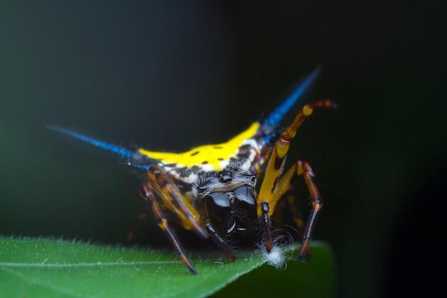 Hasselt's spiny spider op groen blad