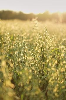 Haver op de stralen van de het groene gebiedszon van de zonsondergangtextuur