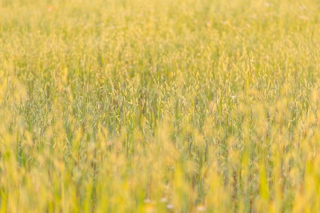Haver veld