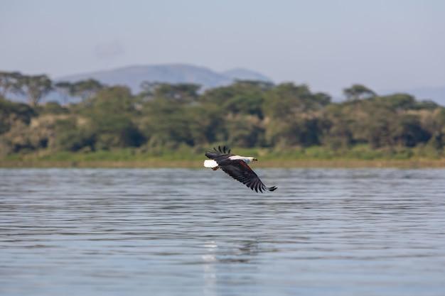 Havik die over het water vliegt