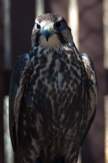 Havik roofvogel jager veren