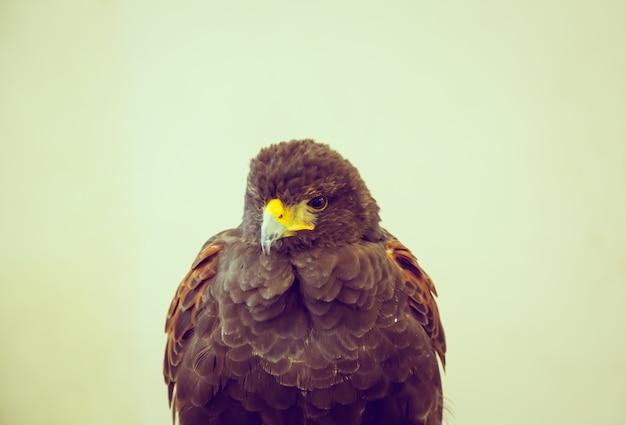 Hawk close up