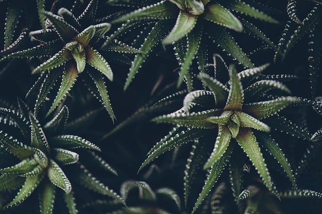 Haworthia-fasciata in donkere, sfeervolle moderne tonen.