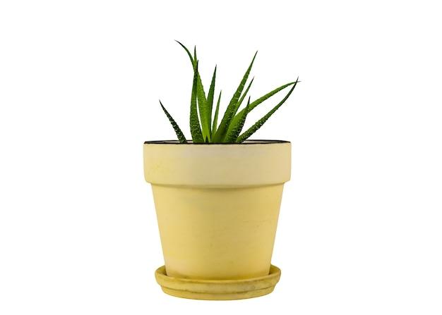Haworthia sappige natuurlijke tuin containerplant endemisch zuid-afrika in gele klei planter pot geïsoleerd op een witte achtergrond. detailopname. selectieve aandacht. kopieer ruimte