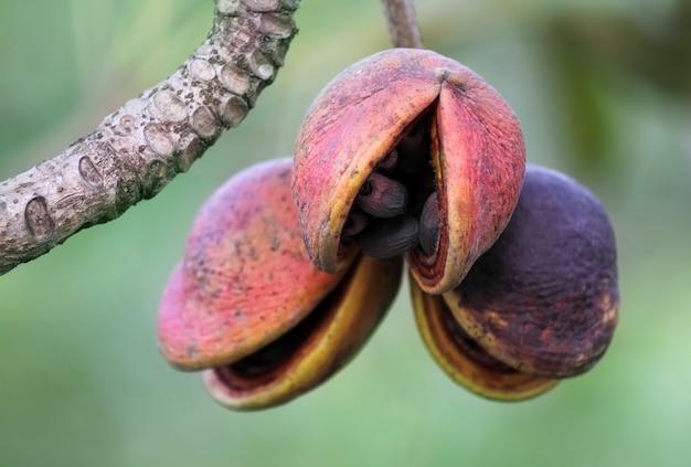 Hazel sterculia of tropische kastanje in plant